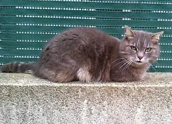 Chat gris rue amavet 2