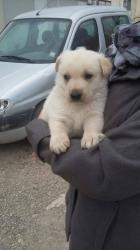 Labrador creme 2 mois